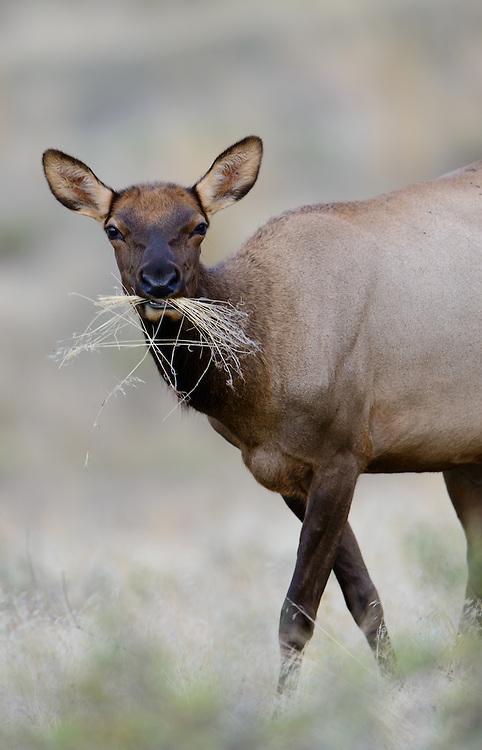 Feeding elk cow (Cervus elaphus canadensis), Western North America