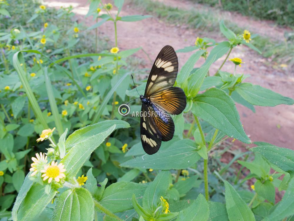 Borboleta da especie Actinote zikani, em seu habitat. Goncalves, Minas Gerais. // Actinote zikani butterfly species in their habitat. Goncalves, Minas Gerais. Marcos Issa - MG - 2011