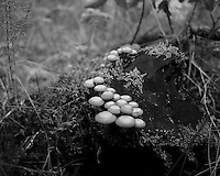 Clump of Mushrooms on a Tree Stump. Forest in Haukadalur, Iceland. Image taken with a Leica X2 camera (ISO 400, 24 mm, f/2.8, 1/250 sec). In camera B&W. Nikonians Iceland Photo Adventure.