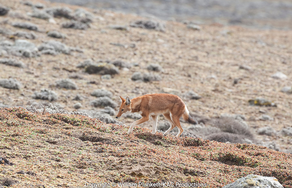 Ethiopian wolf (Canis simensis), also known as the Abyssinian wolf, Abyssinian fox, red jackal, Simien fox, or Simien jackal,. Most endangered canid with only about seven populations remaining, totalling roughly 550 adults. Bale Mountains, Ethiopia