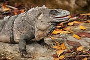Iguana at Xel-Ha nature park, Riviera Maya, Mexico.