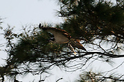 Jekyll Island Osprey flying with fish in talons