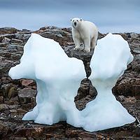 Canada, Nunavut Territory, Repulse Bay, Polar Bear (Ursus maritimus) standing by iceberg along shoreline of Harbour Islands near Arctic Circle along Hudson Bay