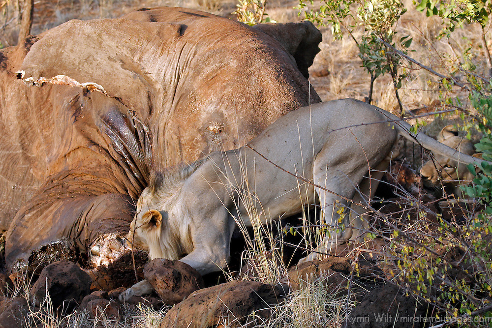 Africa, Kenya, Meru. Lion feeding on the carcass of an elephant which has been killed by poachers.