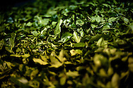 Freshly plucked tea leaves are prepared for processing at a plant near the town of Hatton in central Sri Lanka December 14, 2009. After being picked leaves are wilted overnight then dried and ground with in 24 hours to produce tea for auction.
