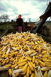 Farmers harvest fall crop of feed corn horses wagon young amish woman red bandana