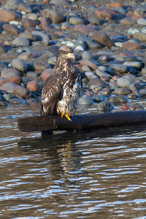A three-year-old bald eagle (Haliaeetus leucocephalus) rests along the Squamish River in Brackendale, British Columbia, Canada. Bald eagles do not get their identifying white heads until they are four or five years old. The youngest bald eagles have dark heads. A faint eye stripe appears when they are two. That eye stripe is more pronounced in a three-year-old eagle.
