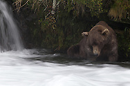 Adult brown bear peering into the water for salmon, Katmai National Park, Alaska