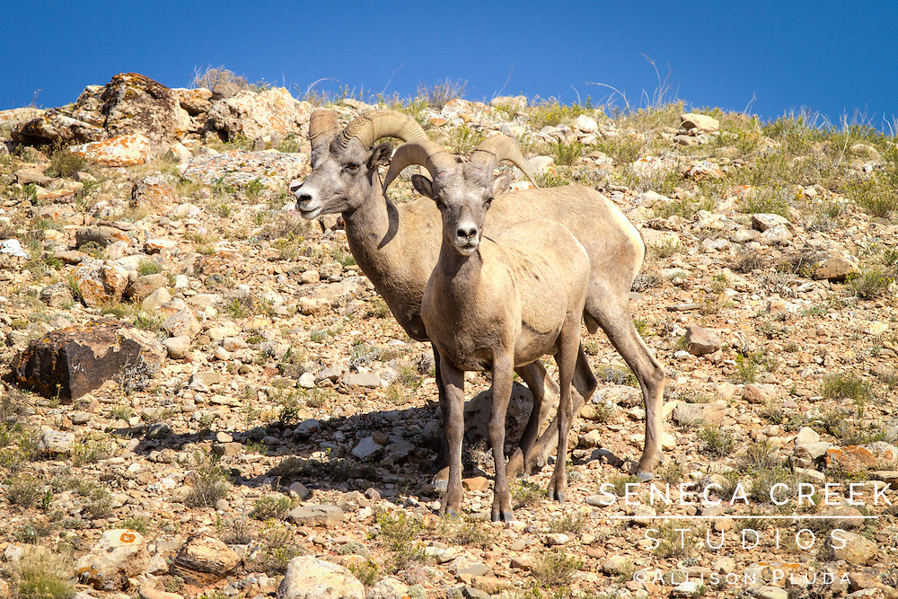 """Bighorn sheep were among the most admired animals of the Apsaalooka (Crow) people in the Bighorn Mountain Range. In the book """"About The Crow: Introduction"""" by Graetz, Old Coyote describes a legend related to the bighorn sheep: """"A man possessed by evil spirits attempts to kill his heir by pushing the young man over a cliff, but the victim is saved by getting caught in trees. Rescued by bighorn sheep, the man takes the name of their leader, Big Metal. The other sheep grant him power, wisdom, sharp eyes, sure-footedness, keen ears, great strength, and a strong heart. Big Metal returns to his people with the message that the Apsaalooka people will survive only so long as the river winding out of the mountains is known as the Bighorn River."""""""