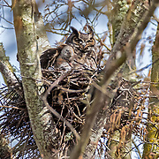 An owlet of a great horned owl (Bubo virginianus) pokes its head out from its mother's feathers on their nest near Wiley Slough in the Skagit Wildlife Area near Mount Vernon, Washington.