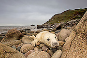 Grey Seal (Halichoerus grypus) pup portrait head shot with eyes open, taken on rocky beach in the west coast of Scotland