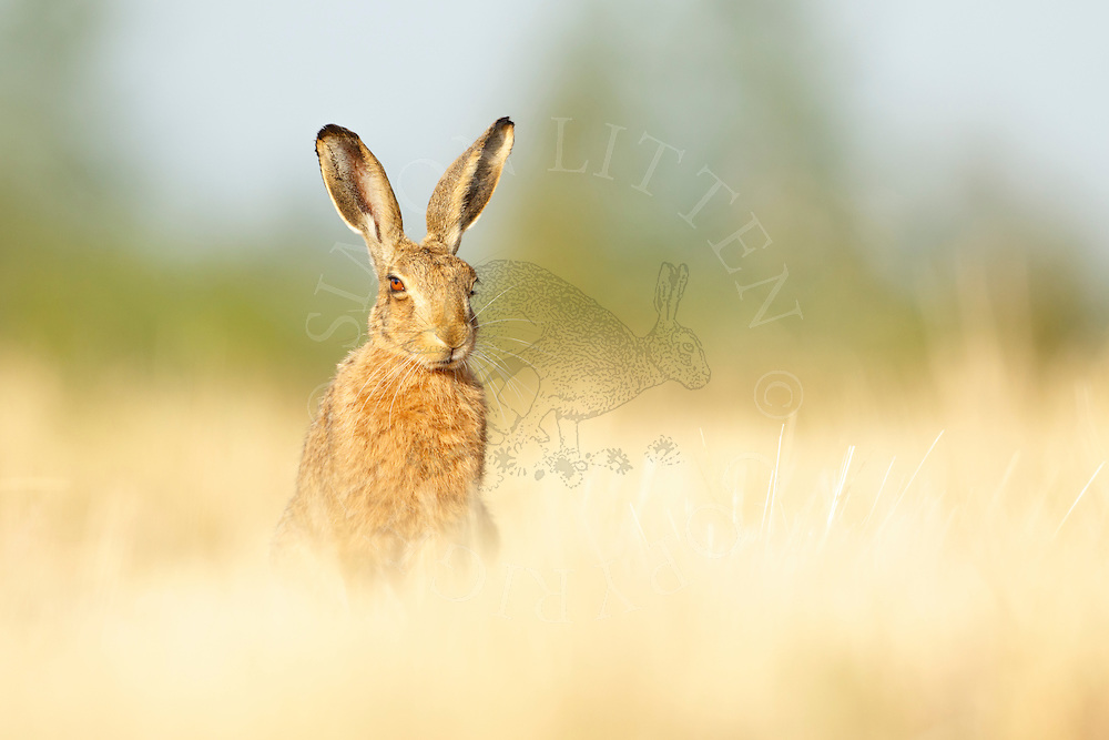 European Hare (Lepus europaeus) adult at rest in wheat stubble field, South Norfolk, UK. July.
