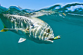Jack Crevalle Stock Photos
