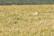 With one cub out of camera range to the left and another to the right, this cheetah kept a vigilant eye on her young.