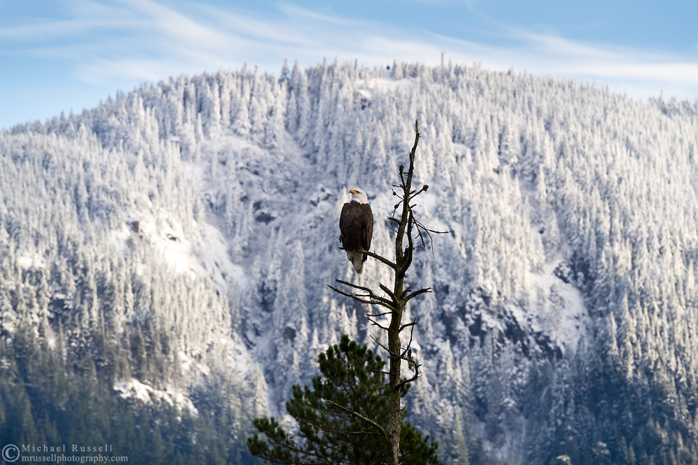 A Bald Eagle (Haliaeetus leucocephalus) watches a passing seagull during the Fraser Valley Bald Eagle Festival in British Columbia, Canada