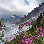 Fireweed (Epilobium angustifolium) grows by the Mer de Glace (Sea of Ice), a classic glacier easily accessible via cog railway or day hike from Chamonix, France, Europe. At 7 kilometers (4.3 miles) long, it is the longest glacier in France. The glacier was once easily visible from Chamonix, but has been shrinking and is now barely visible from below. In the 1700s and 1800s, the glacier descended down to the hamlet of Les Bois, where it was formerly known as Glacier des Bois. Above rise the sharp Needles of Chamonix (Les Aiguilles du Chamonix).