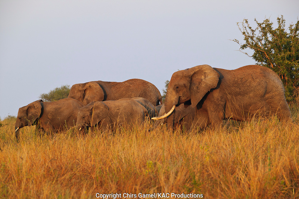 Elephant herd walking in the grass.