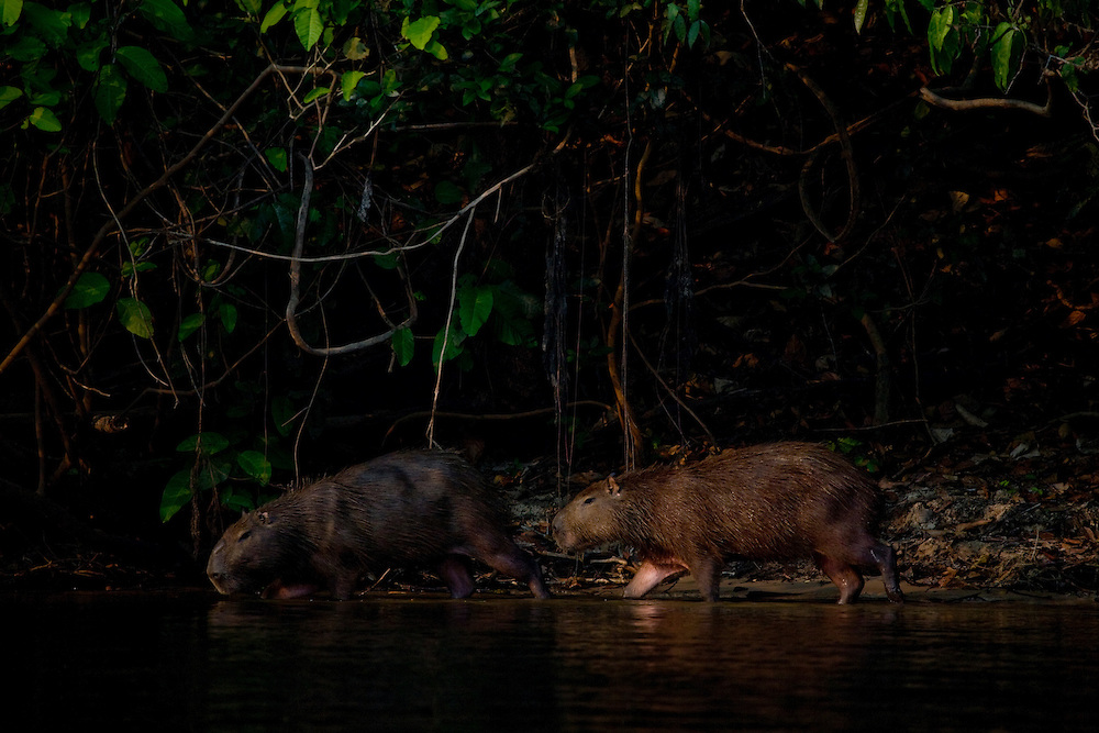 Mato Grosso, Brazil. September  2007.  Cristalino State Park. Capybaras (Hydrochaeris hydrochaeris). The Capybara is the World's largest rodent.