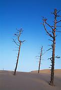 Tree trunks and sand dunes at Umpqua Dunes; Oregon Dunes National Recreation Area, Oregon coast.