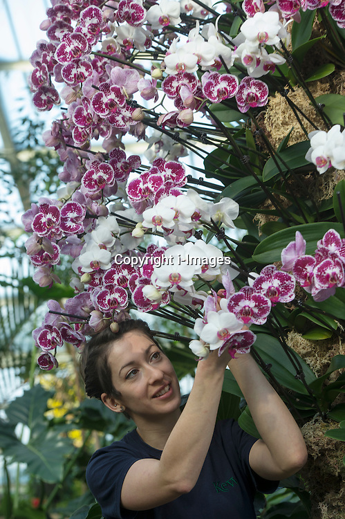 "Royal Botanic Gardens.""Orchids"" The Princess of Wales Conservatory has been transformed with a sea of glorious flowers  over 4,500 orchids have been used for the show.Pic Shows Kat Cooke student Horticulturist putting the finishing touches to the  Phalaenopsis variety, Kew Gardens, London, UK, February 7, 2013. Photo by i-Images"