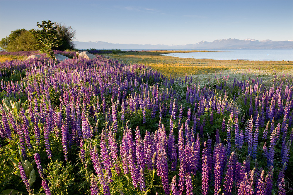 """Lupine at Lake Tahoe 2""- These Lupine were photographed in the early morning at Lake Forest Beach Park, Lake Tahoe."