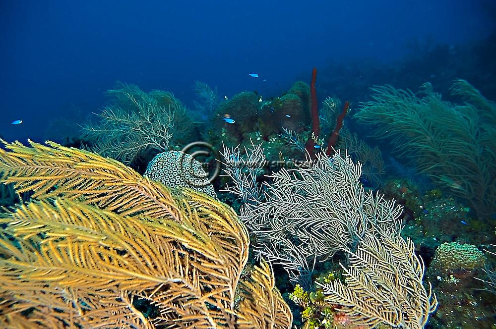 Soft Corals, Grand Cayman, Pseudopterogorgia acerosa, Near Babylon