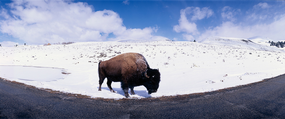 Wyoming, Yellowstone National Park, Snow-covered Buffalo (Buffalo buffalo) in late winter snow along curve in park road
