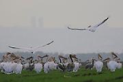 a flock of pelicans Israel, Haifa Bay Winter December 2007