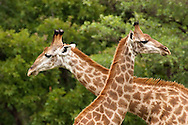 Southern Giraffe (Giraffa camelopardalis)<br /> SOUTH  AFRICA: Mpumalanga Province<br /> Mauricedale Game Farm near Malelane<br /> 20.Jan.2006<br /> S25 31.472 E031 36.715 362m<br /> J.C. Abbott #2235