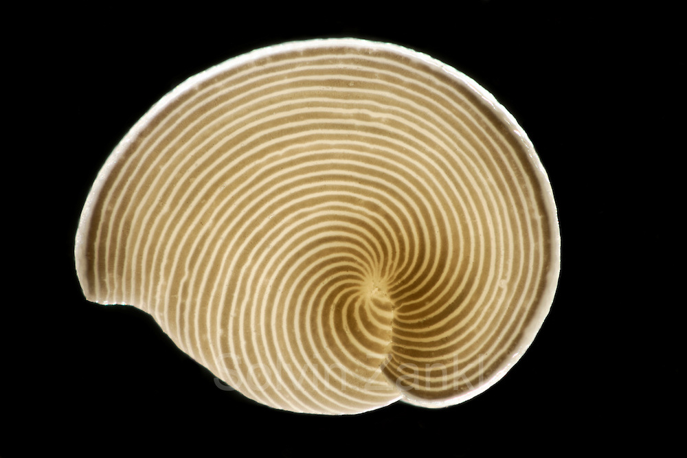 [Digital focus stacking] Foraminifera (Archaias angulatus) from the calcareous sand from the Bahamas, USA. The arrangement of the inner chambers is evident from the stripe pattern. This unicellular organism is common to the seagrasses of the Bahamas Banks. Diagonal of frame approx. 2 mm  [size of single organism: 1,5 mm] | Foraminifere aus Kalksand aus den Bahamas, USA. Archaias angulatus, syn.Orbiculina adunca. Die Anordnung der inneren Kammern erscheint als Streifenmuster. Dieser Einzeller ist weit verbreitet in den Seergaswiesen auf den Bahama-Bänken. Bilddiagonale ca. 2 mm