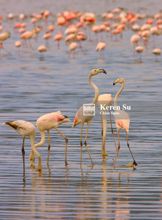 Lesser Flamingoes (Phoenicopterus minor), Lake Nakuru, Kenya