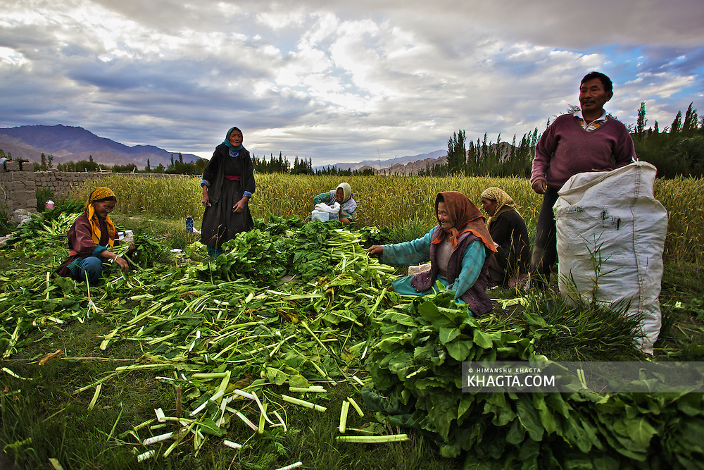 Ladakhi people working in their green fields in the month of August. Farming is impossible in anyother season because of the sub zero temperature and the land remains barren