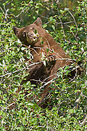 This cinnamon black bear spent hours consuming hawthorn berries along Moose-Wilson in Grand Teton National Park. She delighted the many onlookers crowded along the roadside with her daredevil acrobatics to reach every last berry.
