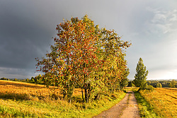 Rowan, tree by road in Estonia. Landscape, nature.