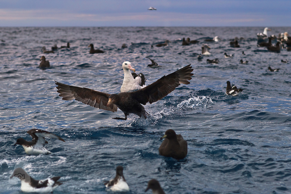 "A Southern Giant Petrel (Macronectes giganteus) prepares to take off, Kaikoura, New Zealand. Also known as Southern Giant Fulmar, this antarctic scavenger can weigh up to 5Kg, live for more than 30 years and is known for its aggressive temperament. ""Stinker"" is a moniker for giant petrels coming from their ability to spit food or oil projectiles with great accuracy when under threat."