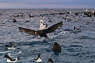 """A Southern Giant Petrel (Macronectes giganteus) prepares to take off, Kaikoura, New Zealand. Also known as Southern Giant Fulmar, this antarctic scavenger can weigh up to 5Kg, live for more than 30 years and is known for its aggressive temperament. """"Stinker"""" is a moniker for giant petrels coming from their ability to spit food or oil projectiles with great accuracy when under threat."""