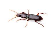 Ground Beetle (Stenomorphus californicus rufipes)<br /> TEXAS: Travis Co.<br />McKinney Falls State Park; Austin<br />24.May.2012 3<br />J.C. Abbott #2594 &amp; K.K. Abbott