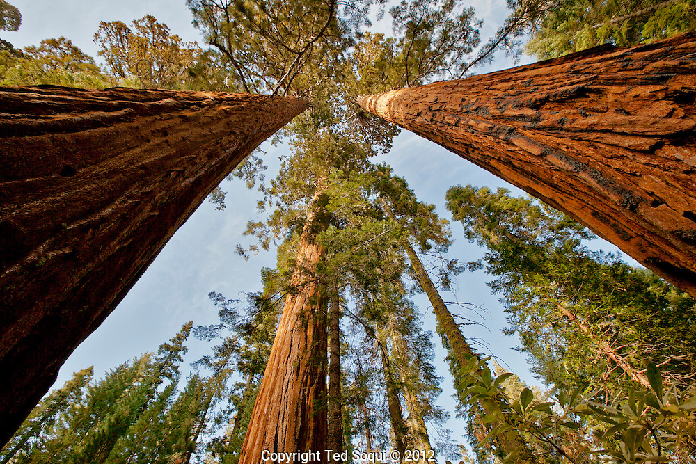 A giant Sequoia Tree grove at the park. Many of the Sequoias can live to over 1000 years old..The autumn season in Yosemite National Park. Leaves and grasses all around the park are changing to their fall colors, and rain and snow are beginning to fall.
