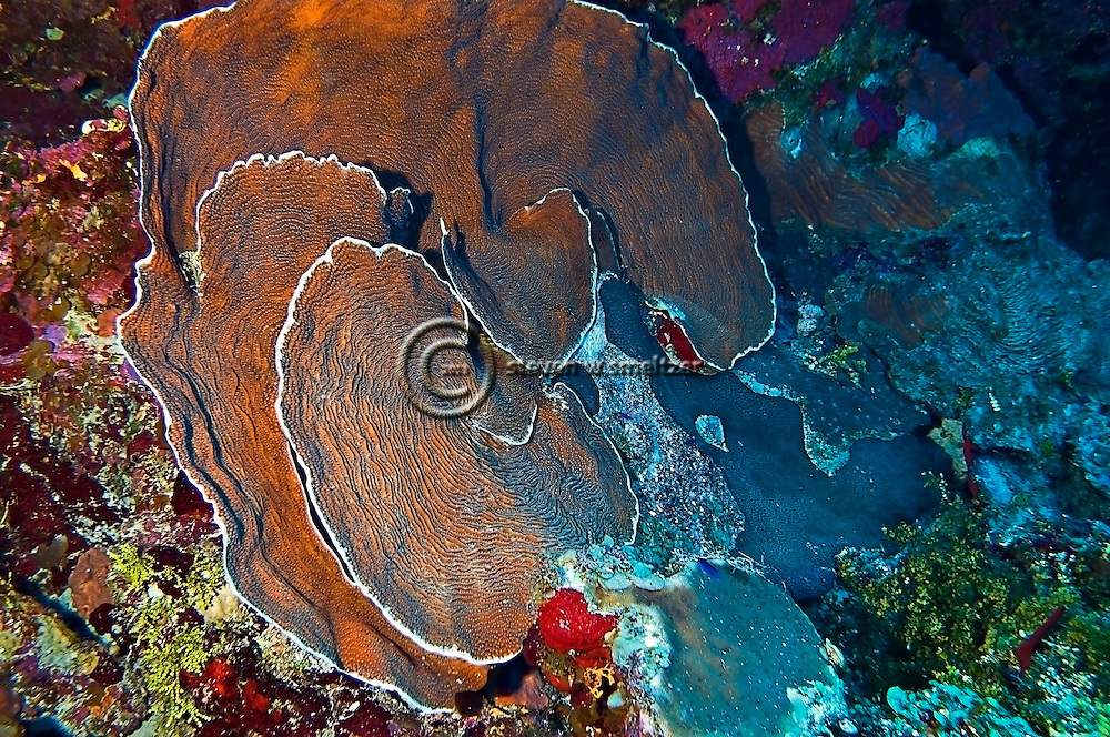 Dimpled sheet coral, Grand Cayman, North Side