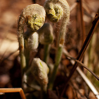 Fiddle heads growing in a swamp.