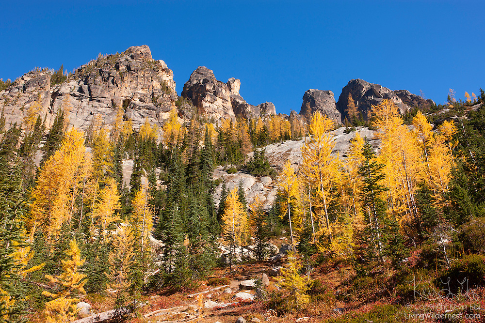 Golden Larch trees (Pseudolarix amabilis) at the peak of their fall color line frame Liberty Bell Mountain (left) and the Early Winters Spires in the North Cascades of Washington state. Golden Larches, while not considered true larches, are known for shedding their needles each fall. The needles grow back each spring and transition from deep green to blue green over the course of the summer. In late September or early October, the needles turn golden and drop, just like the leaves on deciduous trees.