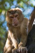 Makach monkey, captive, Hill Tribe Village, Thailand