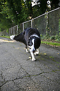 A border collie stalks a photographer in the Congressional Cemetery.