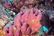 Branching Tube Sponge, Aiolochroia crassa, Penny's Arch, Grand Cayman