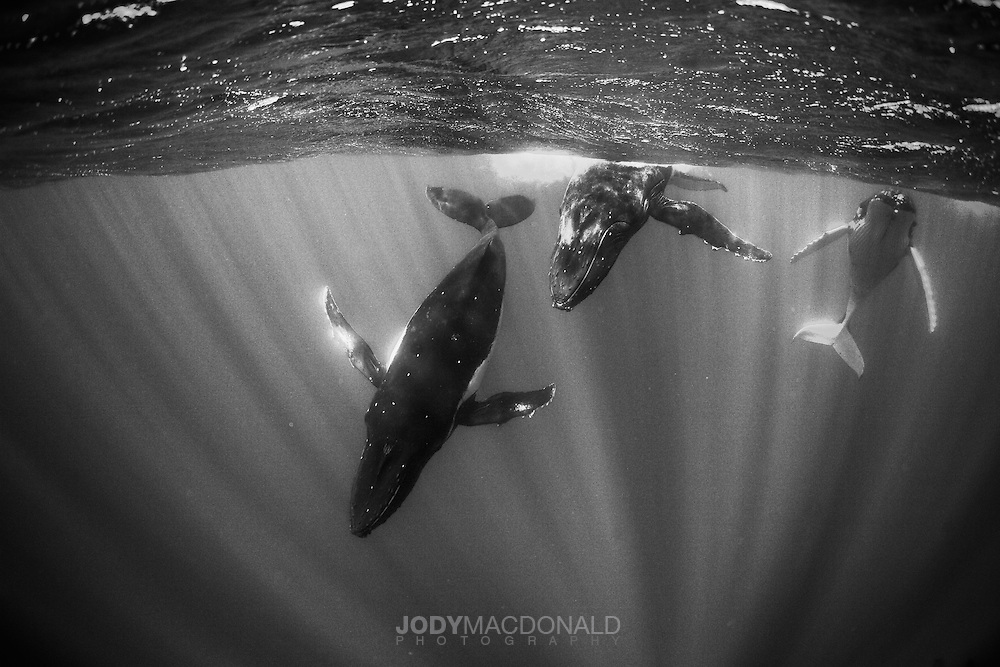Three Humpback whales cruise slowly through crystal clear waters off Moorea, French Polynesia.  Rays of sunlight highlight these beautiful and majestic creatures.