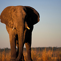 Botswana, Chobe National Park, Bull Elephant (Loxodonta africana) stands along Chobe River at sunset