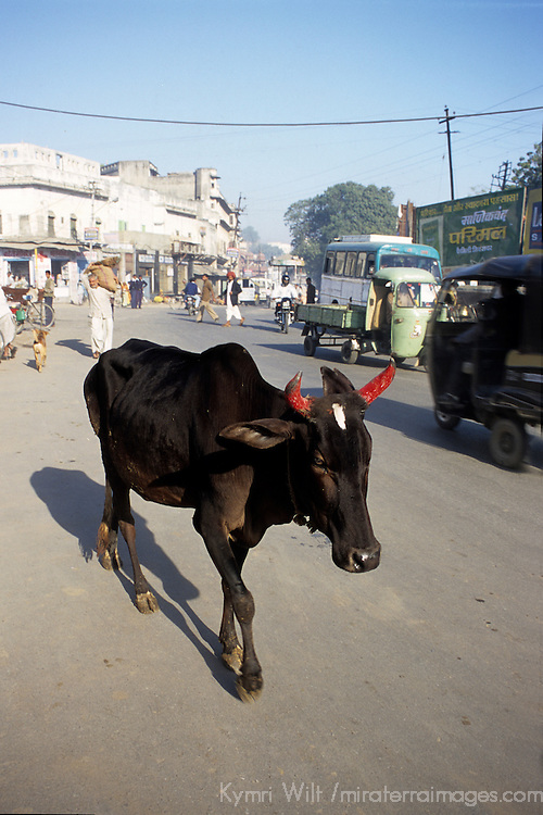 Asia, India. A Brahma Bull, the sacred cow of India, roams freely in the street with red painted horns.