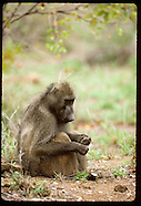 16: NATURE BABOONS