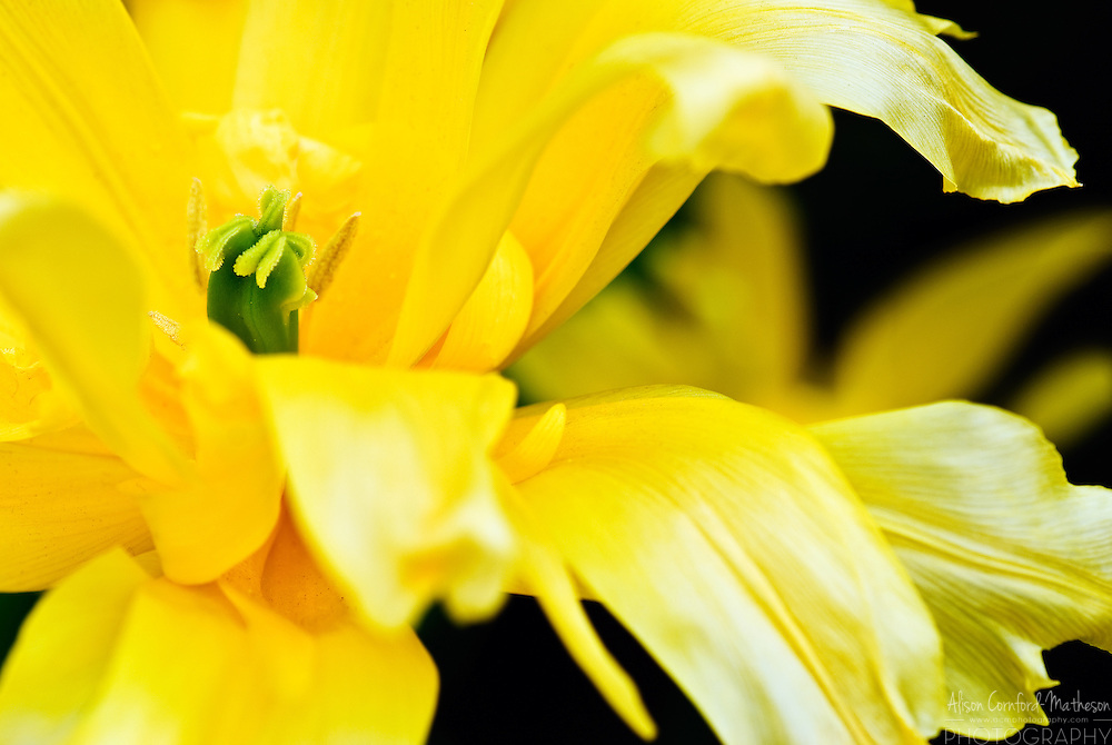 Lily-flowered Tulip 'Yellow Spider' Keukenhof Spring Tulip Gardens, Lisse, The Netherlands.