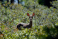 White-tailed Deer in the bush.